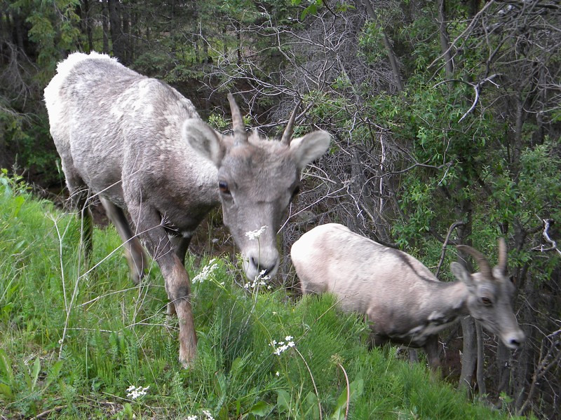 Medicine Lake, Bighorn Sheep