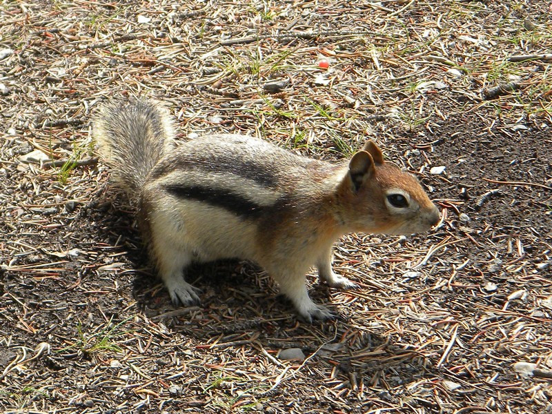 Banff NP, Lake Minnewanka, Golden-mantled Ground Squirrel