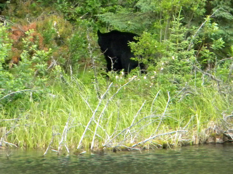 Jasper NP, Black Bear