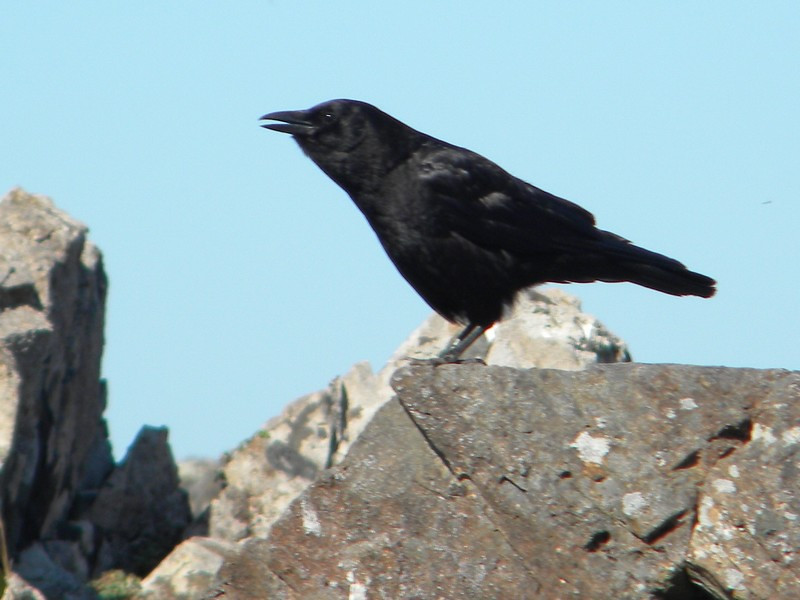 Pacific Rim NP, South Beach Trail, Common Raven