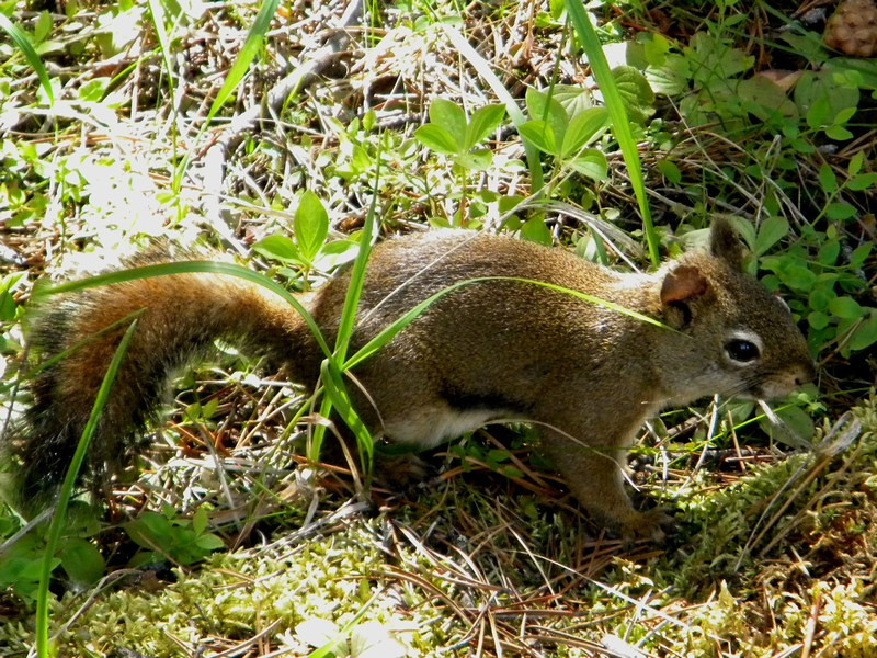 Maligne Lake, Ground Squirrel