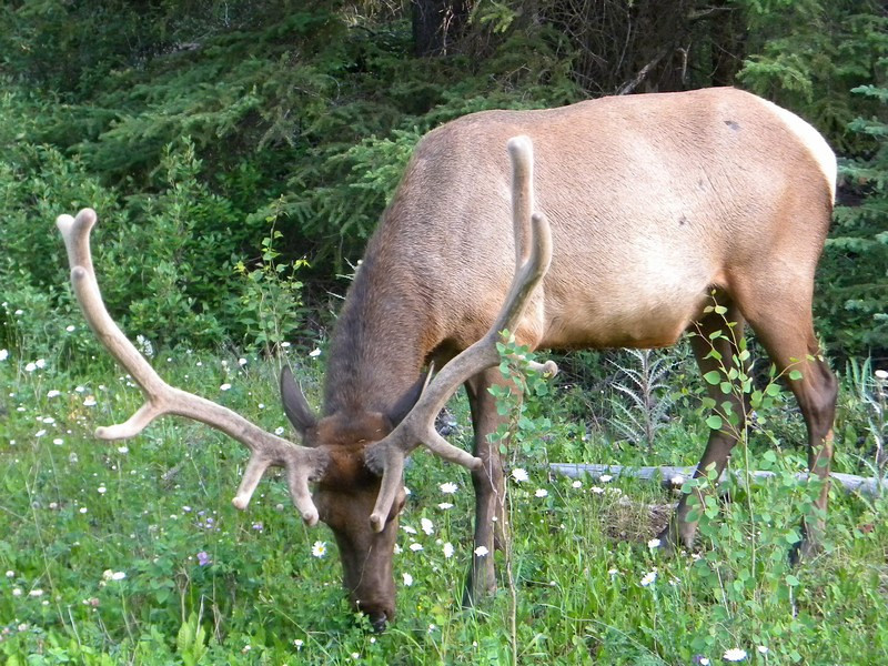 Banff NP, Elk