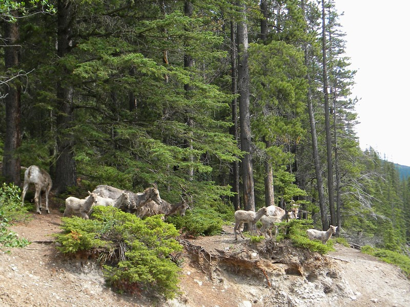 Banff NP, Stewart Canyon, Bighorn Sheep