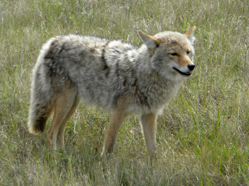 Jasper NP, Coyote